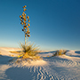 Yucca plant at White Sands National Park New Mexico © Nikhil Bahl
