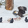 Bald eagle and ravens with carcass © Nikhil Bahl