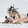 Coyote and magpies with carcass © Nikhil Bahl