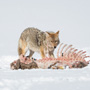 Coyote and magpie on carcass © Nikhil Bahl