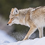 Coyote in the snow at Yellowstone © Nikhil Bahl