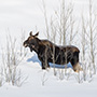 Moose and willow © Nikhil Bahl