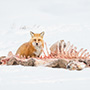 Red fox with carcass © Nikhil Bahl