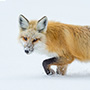 Red fox in the snow © Nikhil Bahl