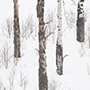 Trees in the snow © Nikhil Bahl